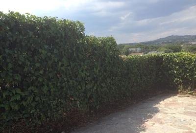 Recortar seto de arizónicas y Hiedra, Las Rozas, Madrid